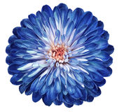 Blue-white Flower Chrysanthemum, Garden Flower, White  Isolated Background With Clipping Path.  Closeup. No Shadows. Centre