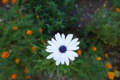 Blue and white flowerhead of African daisy. Blue and white flower head of African daisy stock photography