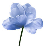 Blue-white flower tulip on a white isolated background with clipping path. Close-up.  no shadows. Shot of White Colored. Nature Stock Photos