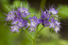 Blue white flowers. Blue white space flowers on soft green background Royalty Free Stock Photography