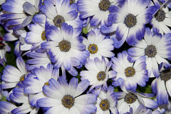Blue and white flowers Stock Images