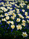 Blue and white flowers in Keukenhof Royalty Free Stock Images