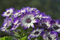 Blue and white  flowers in summer. Blue and flowers in summer in the garden Stock Image