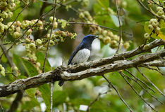 Blue-and-white Flycatcher (Cyanoptila cyanomelana) Royalty Free Stock Photo