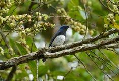 Blue-and-white Flycatcher (Cyanoptila cyanomelana) Royalty Free Stock Photo