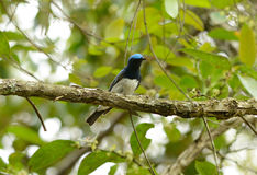 Blue-and-white Flycatcher (Cyanoptila cyanomelana) Stock Images