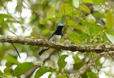 Blue-and-white Flycatcher (Cyanoptila cyanomelana) Stock Images