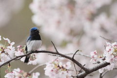 Blue-and-White Flycatcher Stock Photos