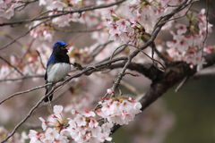 Blue-and-White Flycatcher Stock Image
