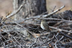 Blue and White Flycatcher Royalty Free Stock Photos