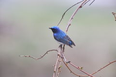 Blue and White Flycatcher Stock Photography