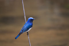Blue-and-white Flycatcher Stock Photography