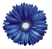 Blue-white gerbera flower, white isolated background with clipping path. Closeup. no shadows. For design. Nature royalty free stock photos