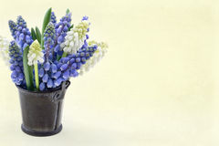 Blue and white grape hyacinth Stock Image