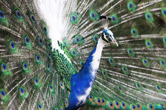 Blue White Green and Gray Peacock Stock Photography