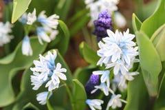 Blue white hyacinth and blue grape hyacinth.  Stock Photo
