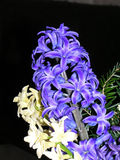 Blue and white hyacinths  Stock Photography
