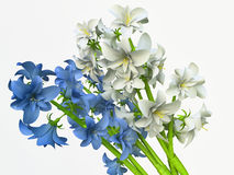 Blue and White Hyacinths Stock Images