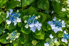 Blue and white hydrangeas in Azores islands. Azores. Portugal. Blue hydrangea from the Azores islands