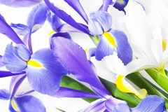 Blue and white iris Stock Images