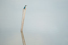Blue and white Kingfisher, Collared kingfisher Stock Image