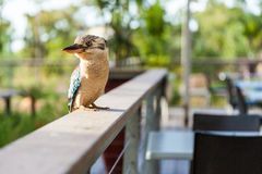 Blue and white Kookaburra bird Royalty Free Stock Photography
