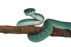 Blue white lipped pitviper snake on white