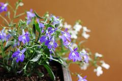 Blue and white Lobelia Erinus in a pot on the balcony. On an isolated background royalty free stock images