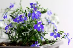 Blue and white Lobelia Erinus in a pot on the balcony. On an isolated background stock photography