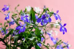Blue and white Lobelia Erinus in a pot on the balcony. On an isolated background stock photos