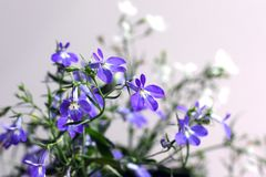 Blue and white Lobelia Erinus in a pot on the balcony. On an isolated background royalty free stock photo