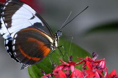 Blue and white longwing heliconius cydno Royalty Free Stock Photography