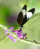 Blue and White Longwing, Heliconius cydno chioneus Royalty Free Stock Image