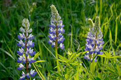 Blue and white lupine flowers Stock Photos