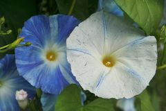 Blue and white morning glories unfurl under summer skies. Vivid blue and white `Flying Saucer` morning glory flowers rival the sky above in hue and intensity as Royalty Free Stock Images