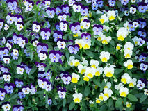 Blue and white pansy flower Royalty Free Stock Photo