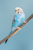 Blue and white parakeet Royalty Free Stock Photography