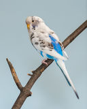Blue and White Parakeet Royalty Free Stock Images