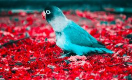 Blue and White Parakeet on Red Flooring Stock Photo
