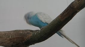 Blue and white parrot on a branch stock video footage