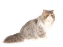 Blue with white Persian on white background Royalty Free Stock Image