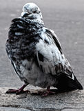 Blue-and-white pigeon Royalty Free Stock Photography