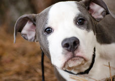 Blue and white pitbull puppy dog Royalty Free Stock Photos