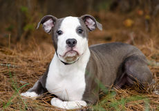 Blue and white pitbull puppy dog Stock Images