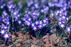 Spring primroses - Chionodoxa. Blue and white primrose in the early spring garden - flowers Chionodoxa Royalty Free Stock Photos