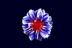 Blue White and Red Flower Illustration Royalty Free Stock Photo