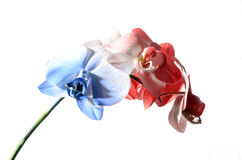 Blue, white and red orchid Royalty Free Stock Image