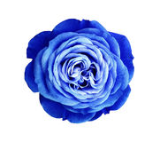 Blue-white rose flower. white isolated background with clipping path. Nature. Closeup no shadows Stock Images
