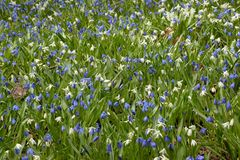 Blue and white scillas sprinkle a lawn with colour Stock Photo