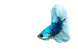 Blue white Siamese fighting fish Stock Image